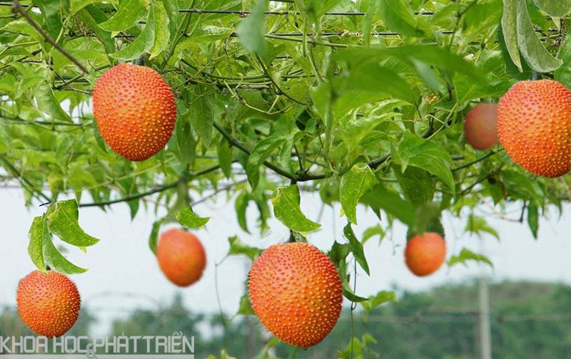 """Gấc là một trong những loại cây đang được Tập đoàn TH trồng để chiết xuất thành các loại nước uống có nguồn gốc """"organic"""""""