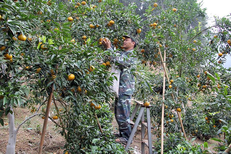 Vườn quýt trồng theo hướng VietGAP của gia đình ông Bàn Văn Thu ở thôn Phiêng, xã Quang Thuận, huyện Bạch Thông. Ảnh: Lê Trang