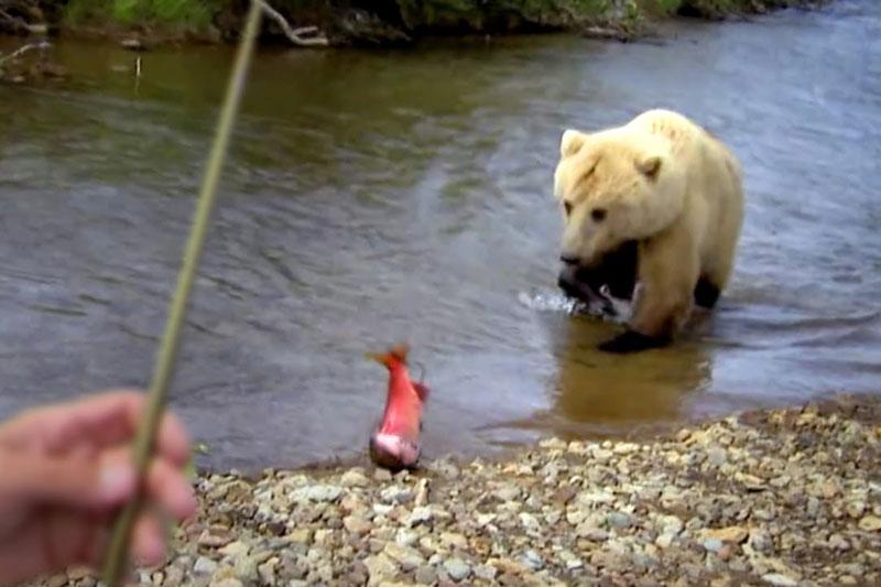"""Gấu xám khổng lồ ngang nhiên cướp cá của cần thủ. Chuyến đi câu cá hồi đỏ ở Alaska của Jeremy Wade đã gặp phải một """"vị khách không mời mà tới"""". Đó chính là con gấu xám Bắc Mỹ khổng lồ và nó còn ngang nhiên cướp cá của cần thủ người Anh. (CHI TIẾT)"""