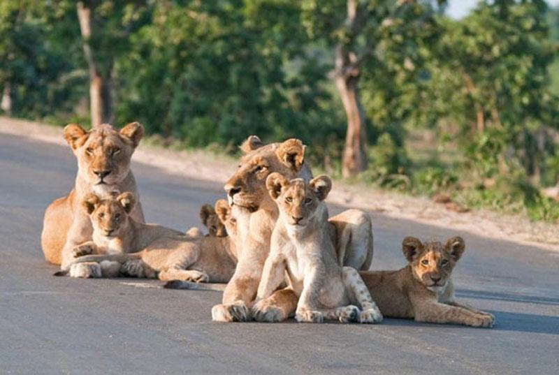 """Trên khắp các vùng đồng cỏ ở châu Phi, sư tử chính là loài động vật săn mồi hùng mạnh nhất. Với sức mạnh vượt trội, """"lãnh chúa vùng đồng cỏ"""" có thể giết chết những loài động vật to lớn như linh dương đầu bò, lợn rừng, trâu rừng… để biến chúng thành bữa ăn thịnh soạn cho mình."""