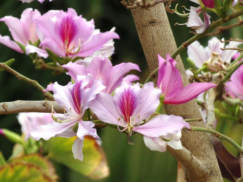 Cây ban mọc cheo leo trên vách núi hoặc xen giữa các loại cây khác giữa rừng. Hoa không nở trong sân nhà, bên mái hiên và đẹp gần gũi, dung dị như đào, mận, mà thênh thang giữa đất trời mênh mông.