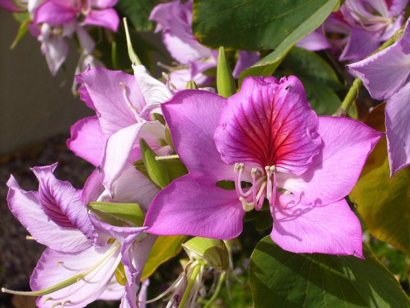 Ban Tây Bắc (hoa ban, ban trắng, ban sọc, móng bò sọc) có danh pháp khoa học là Bauhinia variegata.