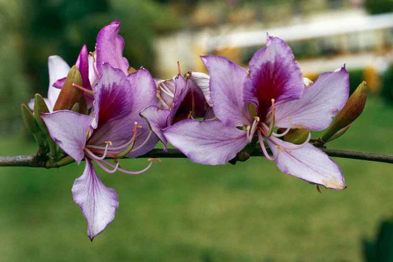 Tuy nhiên, người yêu thích hoa cũng có thể tự trồng hoa ban tại nhà để thưởng thức.