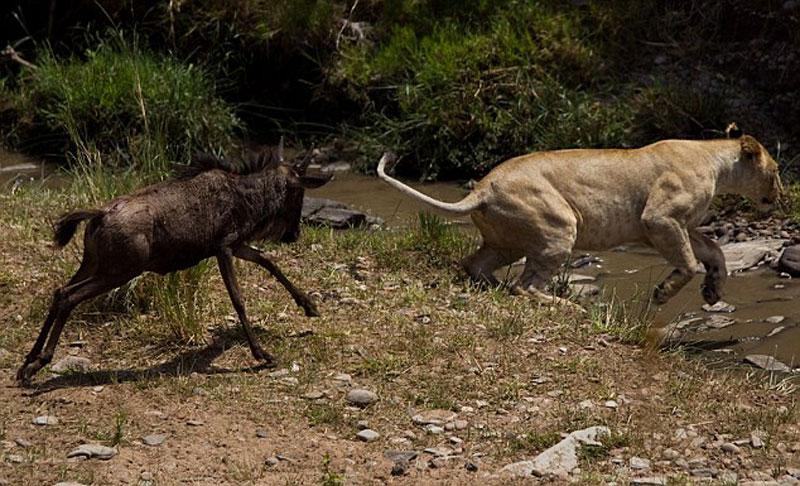 """Được biết, cảnh tượng này do các du khách tình cờ ghi lại được khi đang tham quan bờ sông Talek ở vườn quốc gia Masai Mara thuộc Kenya. Trước đó, con sư tử cái đã """"đơn thương độc mã"""" săn chú linh dương đầu bò khoảng 6 tháng tuổi."""