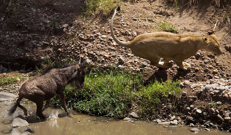 """Thế nhưng, khi ở trong tình cảnh không còn gì để mất, chú linh dương đầu bò chưa trưởng thành đã quay lại tấn công con sư tử rất dũng mãnh. Bất ngờ vì bị con mồi tấn công, """"lãnh chúa vùng đồng cỏ"""" liền bỏ chạy thục mạng và tạo ra một sự kiện vô cùng thú vị trong thiên nhiên hoang dã."""
