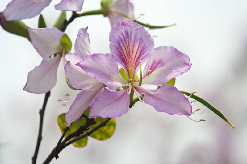Đây là là loài thực vật có hoa trong họ Đậu (Fabaceae).