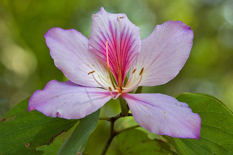 Cây hàng năm rụng lá vào mùa khô. Thường phân bổ ở rừng bán rụng lá, savan hoặc ven rừng, ven làng bản. Khí hậu thích hợp là nhiệt đới gió mùa hoặc cận nhiệt đới.