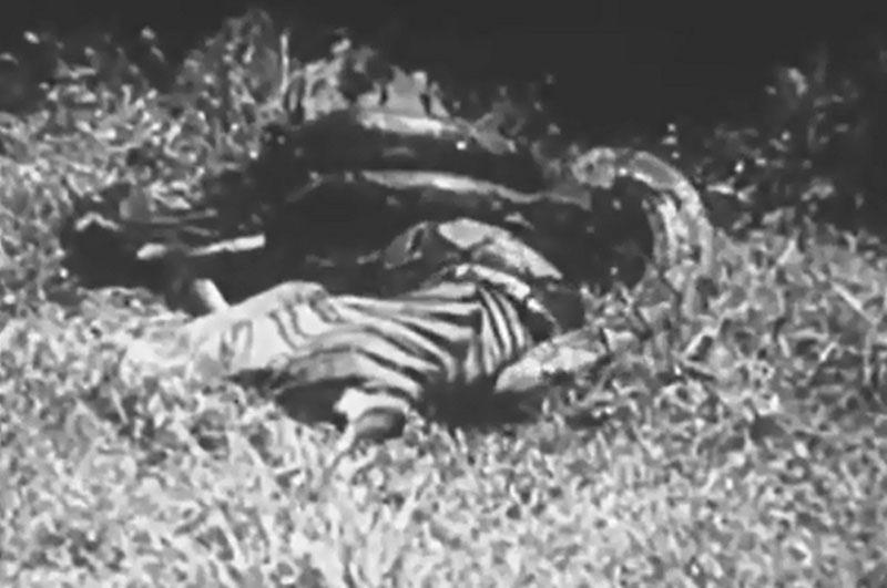 Hổ dữ chết thảm trước trăn khổng lồ. Việc mắc sai lầm lớn trong việc săn mồi đã khiến chú hổ bị con trăn khổng lồ quay lại tấn công và phải bỏ mạng đầy đáng tiếc. (CHI TIẾT)