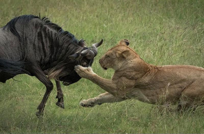 Sư tử giết linh dương đầu bò.