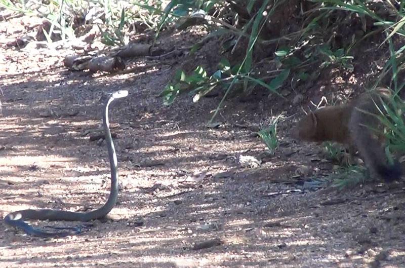 Cầy Mangut hạ sát rắn mamba đen sau màn giao chiến. Với sự thông minh, nhanh nhẹn và dũng cảm, con cầy Mangut đã cắn chết rắn mamba đen sau màn giao đấu giữa đôi bên. (CHI TIẾT)