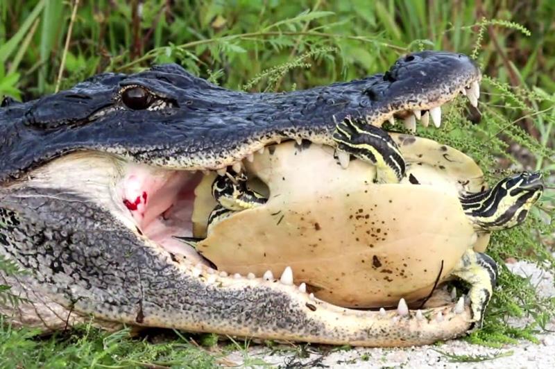 Bắt được rùa, cá sấu vẫn bất lực trong việc xử lý. Mặc dù đã bắt được rùa, song do mai của con mồi quá cứng nên cá sấu đành bất lực không thể nuốt được. (CHI TIẾT)
