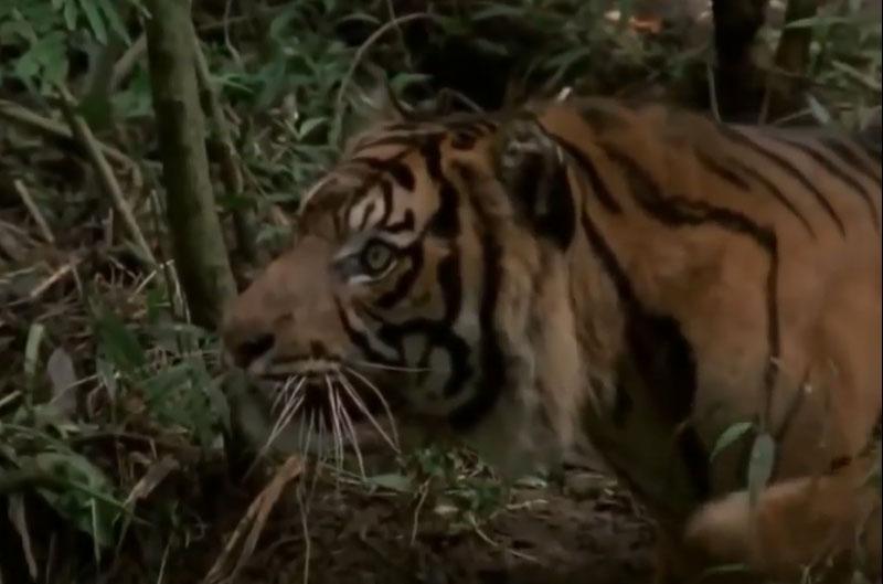 """Hổ đoạt mạng khỉ đuôi dài trong chớp mắt. Chỉ bằng một cú vồ duy nhất, con hổ Sumatra đã dễ dàng tóm gọn chú khỉ đuôi dài trước khi biến đối thủ thành """"bữa ăn tối"""" thịnh soạn cho mình. (CHI TIẾT)"""