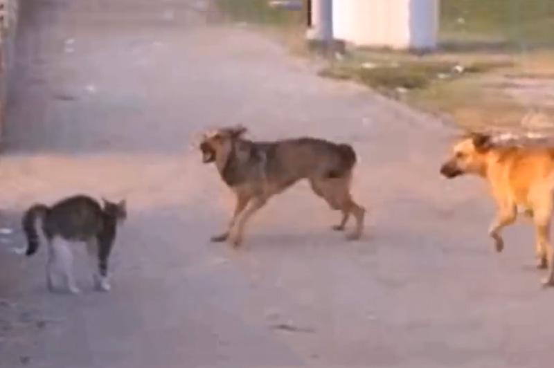 Mèo đối đầu với 2 con chó.