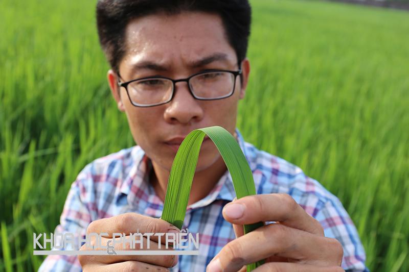 Nghiên cứu viên của Trạm khảo nghiệm giống cây trồng Văn Lâm (Hưng Yên) đang khảo nghiệm giống lúa mới. Ảnh: Kim Phượng