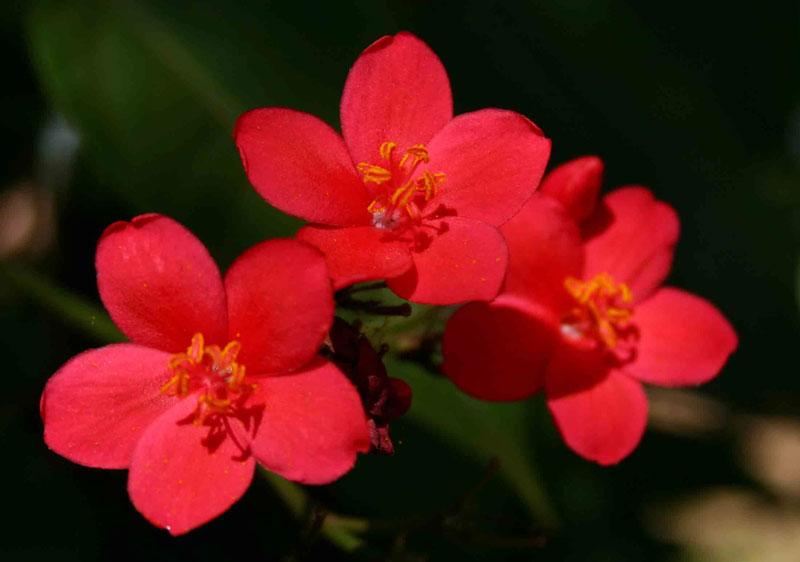 Có thể trồng cây hồng mai bằng phương pháp giâm cành hay gieo hạt.