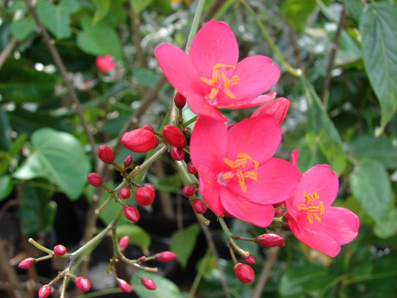 Để hồng mai khỏe mạnh và cho hoa nhiều, tươi sắc cần cung cấp thêm chất dinh dưỡng và tưới nước đầy đủ cây cho cây. Đồng thời thường xuyên theo dõi và diệt sâu bệnh hại cho cây vì cây thường hay bị rệp sáp.