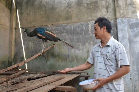 Nghề nuôi chim công đã đem lại nguồn kinh tế khủng cho gia đình anh Trần Văn Phương.