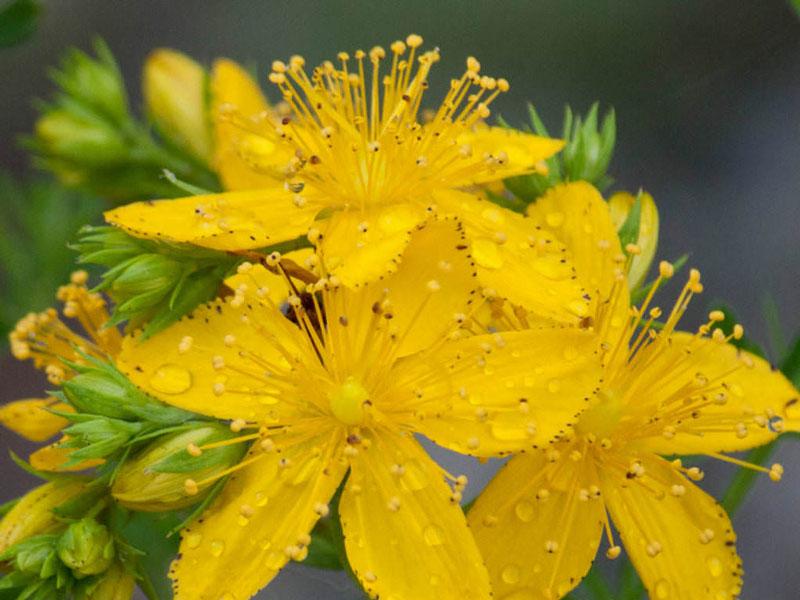 Đây là loại thực vật có hoa trong họ Hypericaceae.