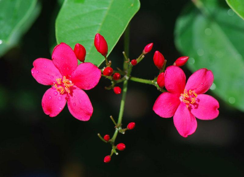 Loài hoa này có nguồn gốc từ Cuba và Hispaniola.