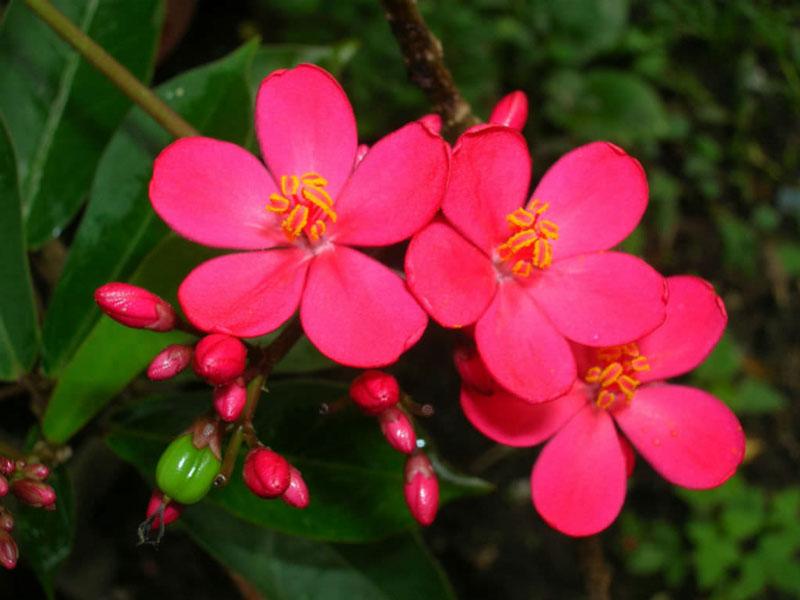 Dầu lai lá đơn là loại cây bụi cao từ 1 - 2m, phiến lá màu xanh lục đậm.