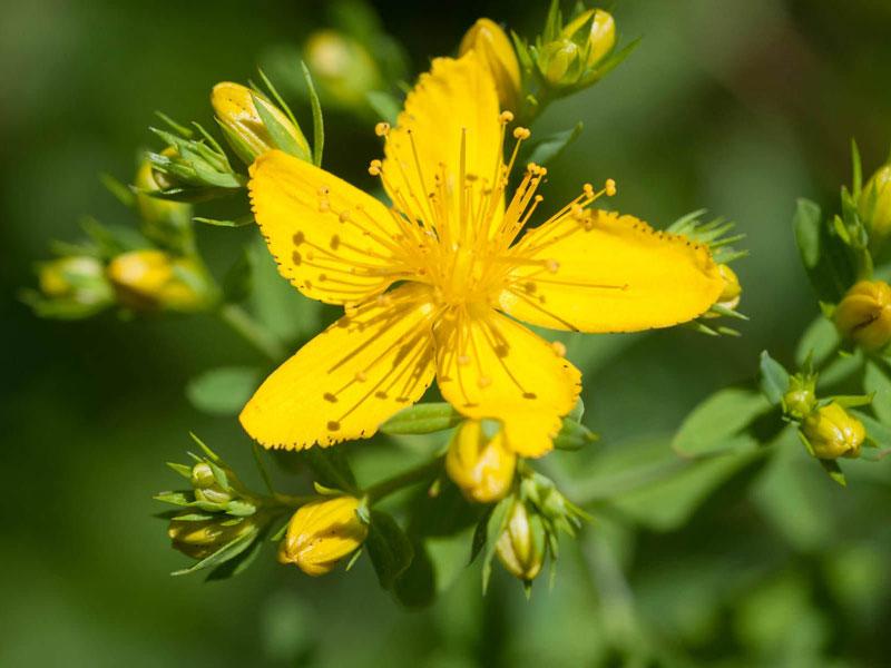 Hoa có kích thước khoảng 2,5cm, hoa 5 cánh, màu vàng.