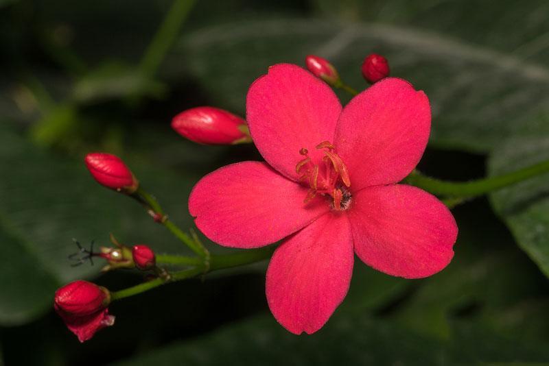 Loại cây này được trồng rộng rãi ở nhiều nơi trên thế giới để làm cảnh.