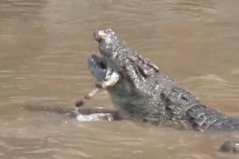 1 con cá sấu chuẩn bị nuốt ngựa vằn vào trong bụng.