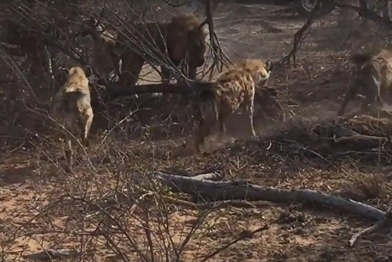 Bầy linh cẩu bao vây sư tử đực.