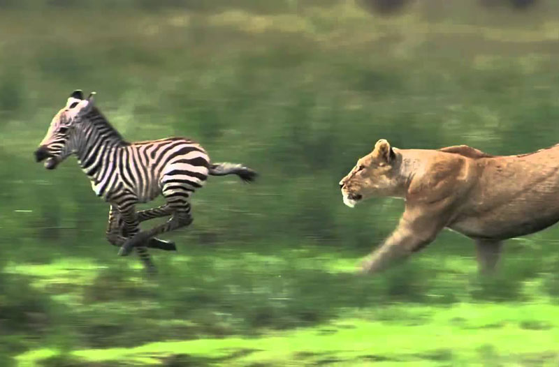 Sư tử truy sát ngựa vằn con.