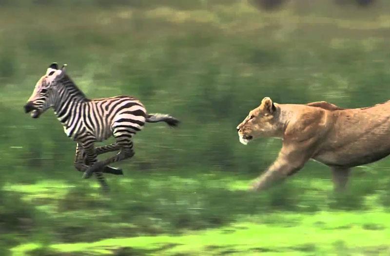 Bị lạc mẹ, ngựa vằn con chết thảm trước sư tử. Khi đang tham quan vườn quốc gia Maasai Mara ở Kenya, các du khách đã tình cờ ghi lại được một khoảnh khắc cực kỳ tàn khốc trong thiên nhiên hoang dã. Đó là cảnh hai con sư tử giết chú ngựa vằn con bị lạc mẹ. (CHI TIẾT)