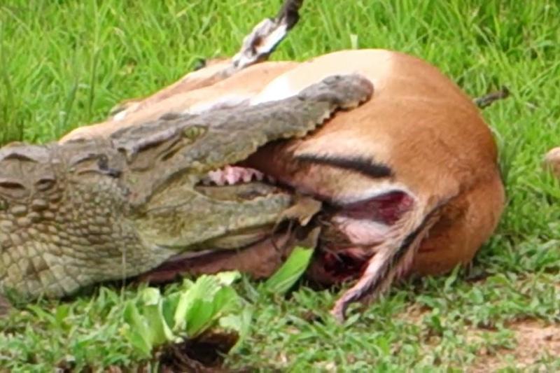 Linh dương Impala thoát chết ngoạn mục trước hàm cá sấu. Mặc dù bị bị cá sấu cắn, song linh dương Impala vẫn thoát chết một cách ngoạn mục. (CHI TIẾT)