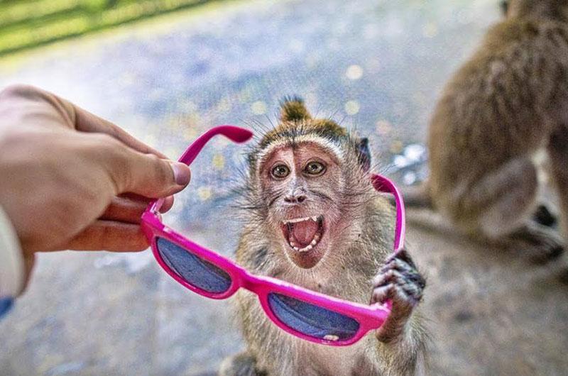 Khỉ tinh ranh, bắt người đưa quà bánh để chuộc tài sản. Những con khỉ tại ngôi đền Uluwatu ở Bali, Indonesia đã khiến nhiều người phải ngạc nhiên khi biết cách trộm đồ và bắt các du khách phải đưa bánh, trái cho chúng để chuộc lại tài sản. (CHI TIẾT)