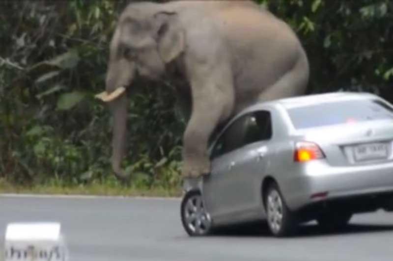 Voi rừng dẫm lốp, đạp gương, ngồi nát capô xe du khách. Con voi bất ngờ húc đầu xe, dùng chân dẫm lốp trước, trèo lên đạp gương và ngồi lên đầu xe làm nát capô khiến chủ xe bị một phen hú vía. (CHI TIẾT)