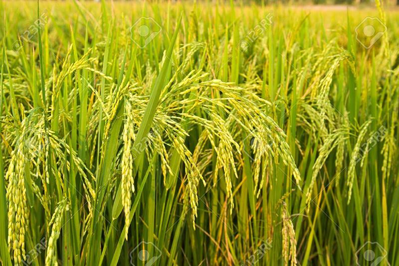 Từ một hạt thóc, có thể thu được 200 bông lúa. Ảnh: Shutterstock