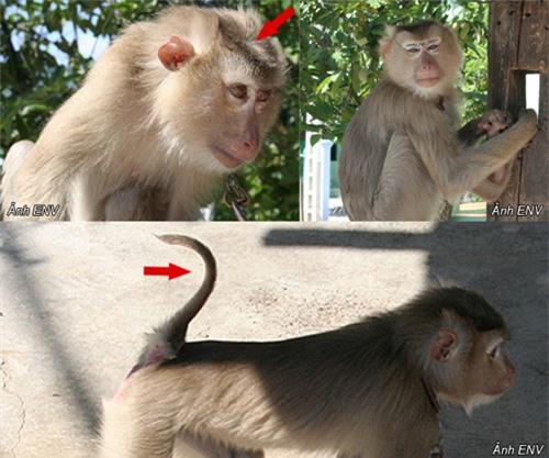 Quảng Nam: Thả một cá thể khỉ đuôi lợn quí hiếm về môi trường tự nhiên - 1