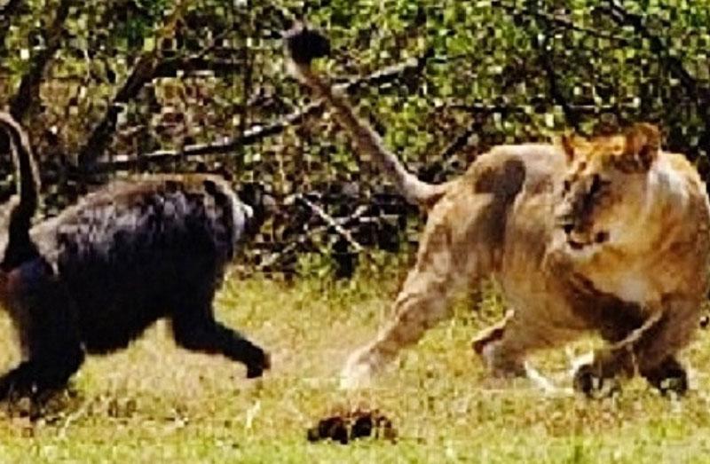 Khỉ đầu chó đuổi sư tử.