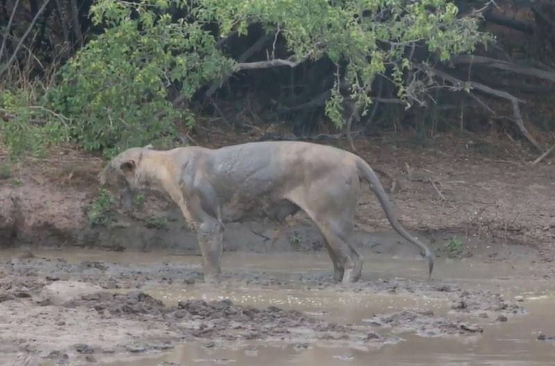 Sư tử giãy chết bên dòng sông cạn.