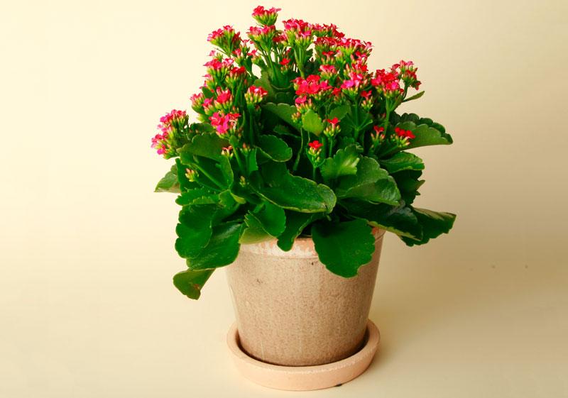 Hoa sống đời nở rộ. Ảnh minh họa.