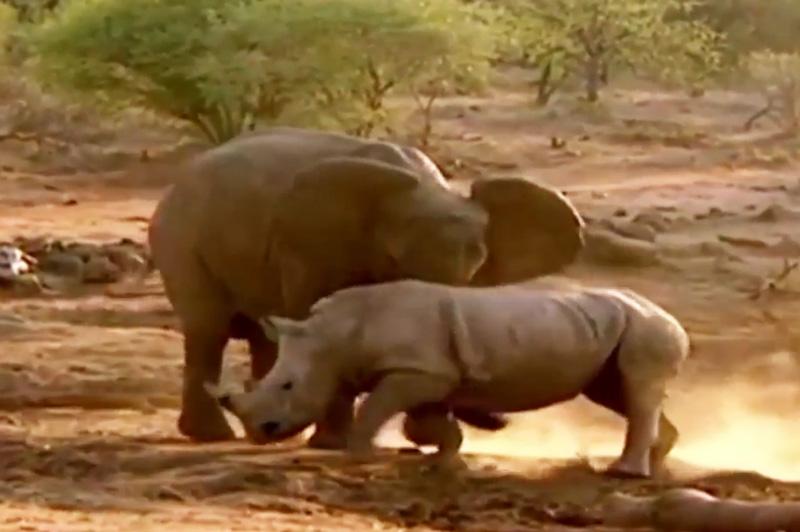 Voi tấn công tê giác.