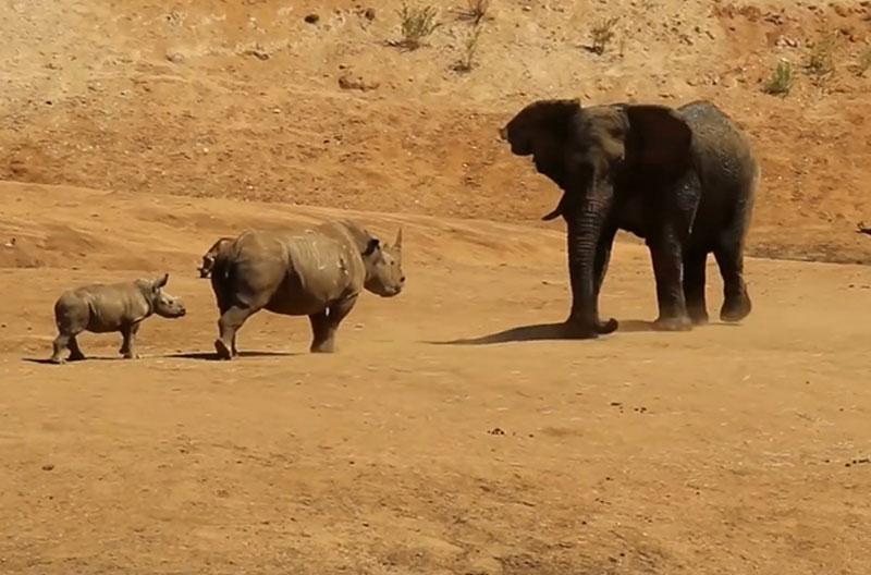 """Tê giác tấn công voi để bảo vệ con. Trước nguy cơ có thể bị con voi tấn công, chú tê giác mẹ đã quyết định """"tiên hạ thủ vi cường"""" để bảo vệ chính mình và đứa con của nó. (CHI TIẾT)"""