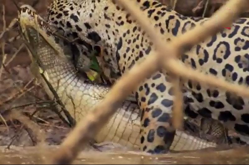 Báo đốm đoạt mạng cá sấu trong chớp mắt. Chỉ bằng một cú vồ duy nhất, con báo đốm đã dễ dàng tóm gọn được chú cá sấu Caiman trước khi giết chết đối thủ. (CHI TIẾT)