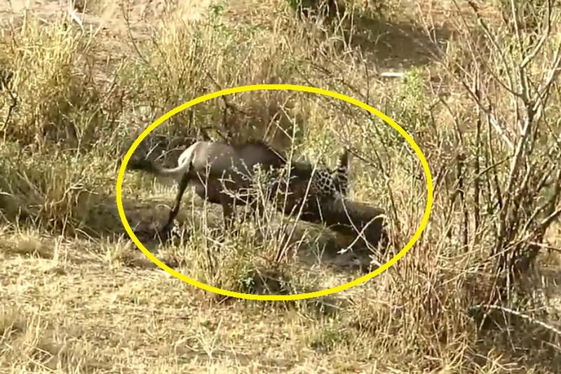 Báo hoa mai đón đầu tóm gọn linh dương đầu bò. Với khả năng phán đoán tốt, báo hoa mai đã đón đầu và dễ dàng bắt được linh dương đầu bò. (CHI TIẾT)