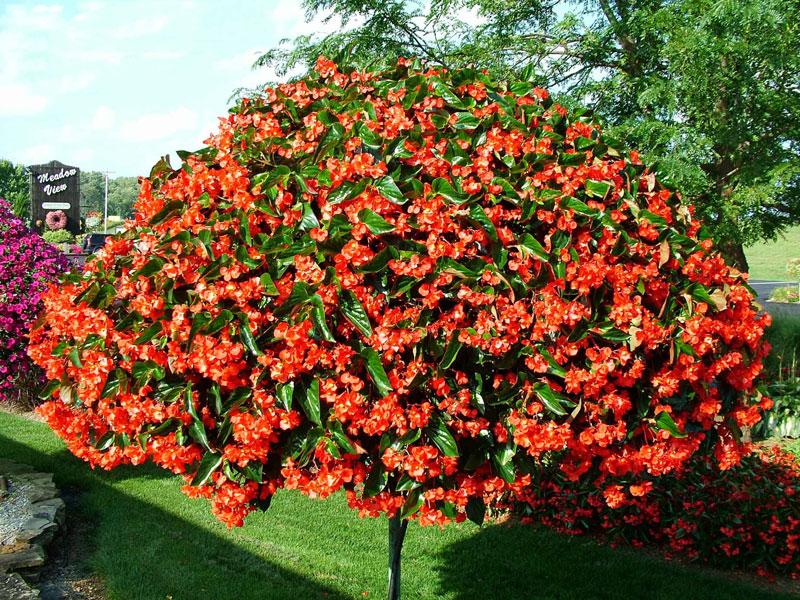 Giỏ hoa thu hải đường nở đỏ rực. Ảnh minh họa.