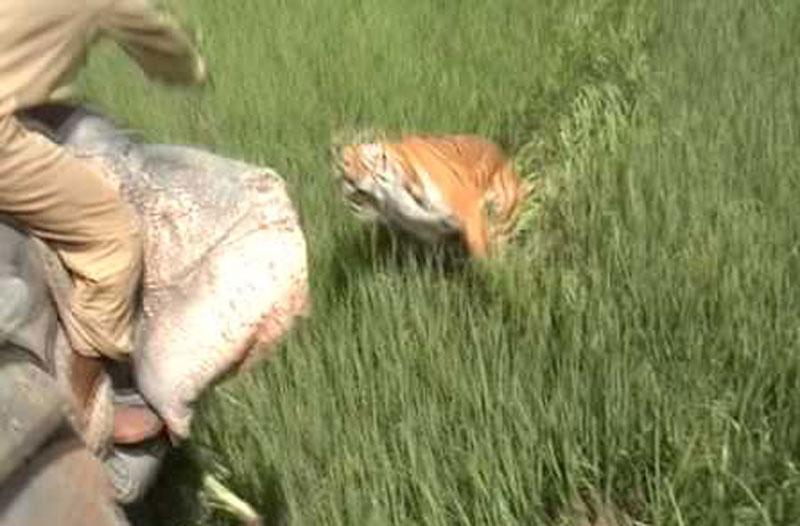 Hổ vồ đứt 2 ngón tay bảo vệ rừng đang cưỡi voi. Một bảo vệ rừng đang cưỡi voi đi thị sát thì bất ngờ bị con hổ Bengal lao ra từ bãi cỏ, nhảy vọt qua đầu voi vồ đứt hai ngón tay. (CHI TIẾT)