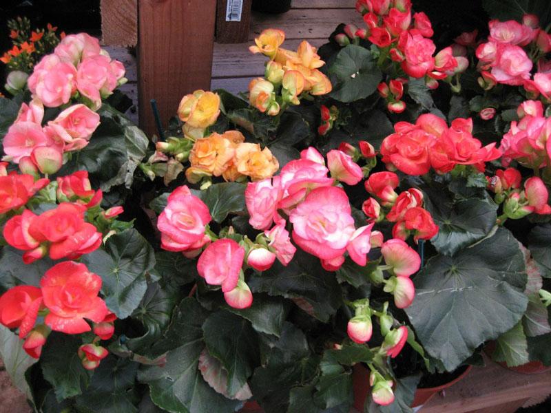 Hoa thu hải đường nhiều màu sắc. Ảnh minh họa.