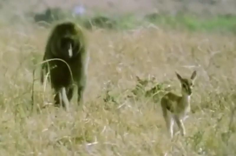 Linh dương Gazen con (phải) được khỉ đầu chó cứu sống.