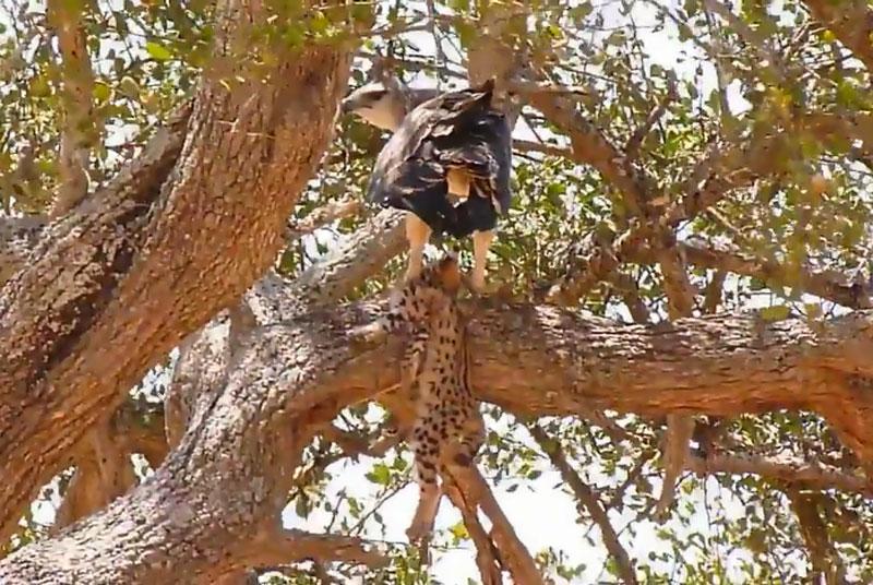 Đại bàng xé xác báo con trên cây. Sau khi tóm gọn được chú báo mới vài tuần tuổi, con đại bàng liền lôi xác con mồi lên cây để từ từ thưởng thức. (CHI TIẾT)