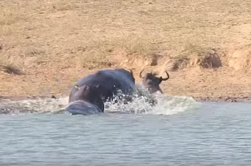 2 con hà mã cứu sống linh dương đầu bò.