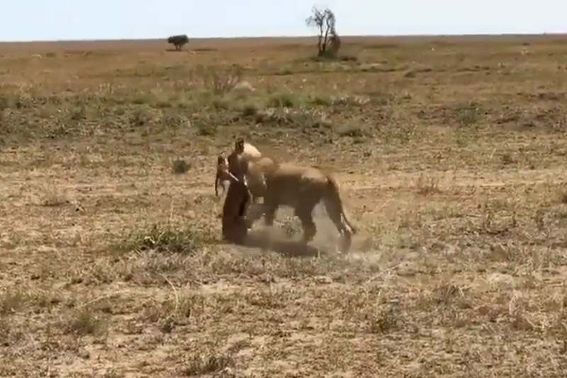 Sư tử cái tha xác linh dương Antilope.