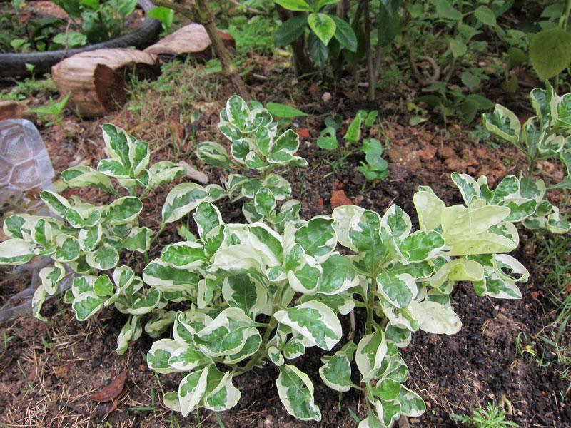 Cây cẩm thạch trồng trong vườn. Ảnh minh họa.